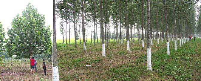 每一棵树都在苗圃现场选定