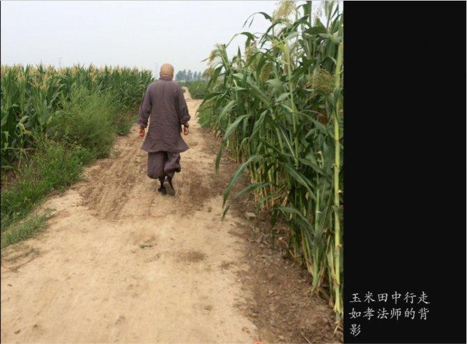 玉米田中行走如孝法师的背影