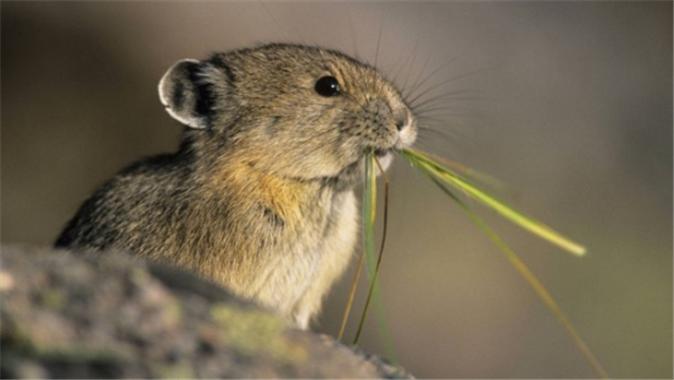 """Image 8:被指为""""荒漠化元凶""""的鼠兔"""